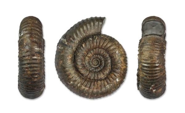 Catacoeloceras raquinianum (D´ORBIGNY, 1844), 7 cm, complete specimen