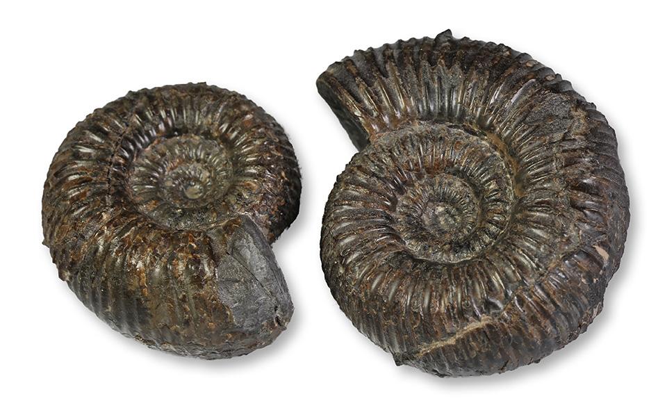 2 inner whorls Catacoeloceras crassum, 4 & 5 cm