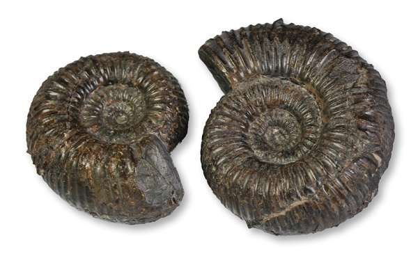 2 inner whorls Catacoeloceras crassum, 4 & 5 cm