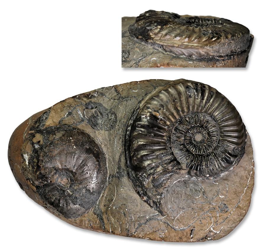 Pleuroceras apyrenum, 52 mm, with 40 mm Amaruoceras, Hawsker Bottoms