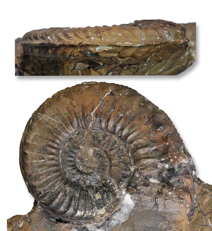 Pleuroceras apyrenum, 58 mm, Hawsker Bottoms