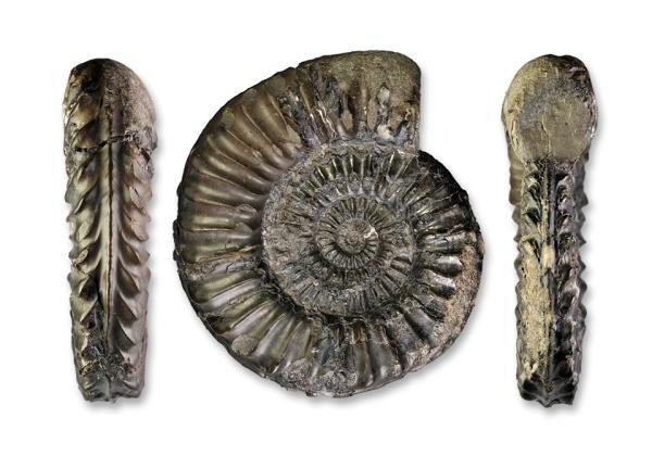 Pleuroceras hawskerense transient elaboratum, 82 mm, Hawsker Bottoms