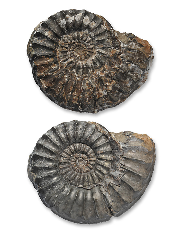 Pleuroceras paucicostatum, 60 mm, before and after air abrading with iron powder