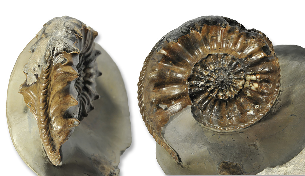 Pleuroceras salebrosum, 60 mm, Holderness Coast (coll. A. Tenny)