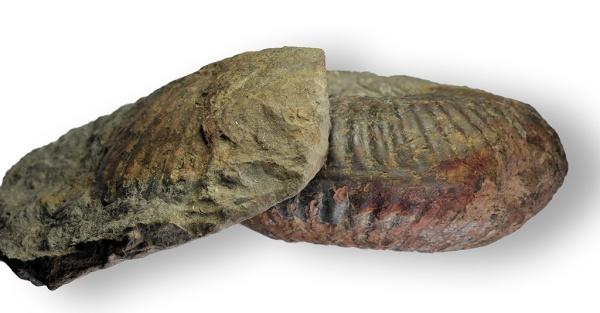 Hammatoceras cf. semilunatum, 15 cm, keel view