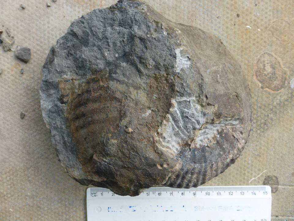 Hammatoceras ammonite as found, picture courtesy of R. Taylor