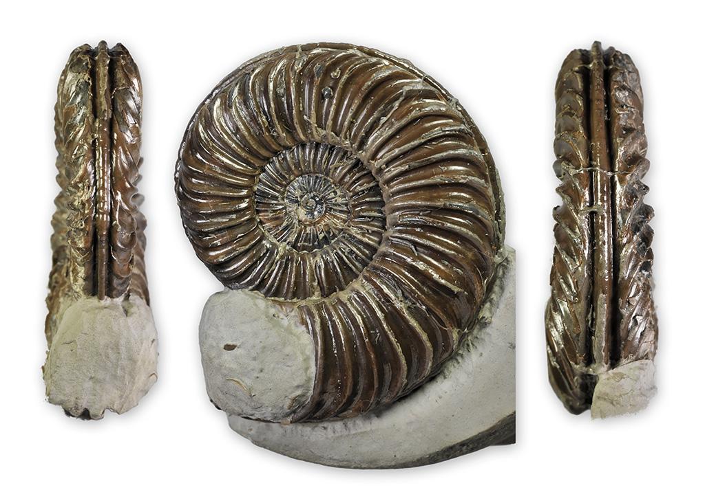 Caenisites turneri BUCKMAN 1925, 65 mm, found Holderness coast, D. Pearson collection