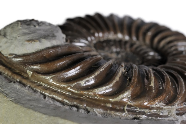 Keel of ammonite with deep furrows