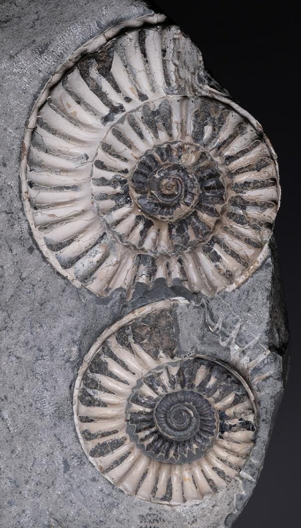 Arnioceras bodleyi (J. BUCKMAN), 7 and 5 cm diameter, Kilve/Somerset