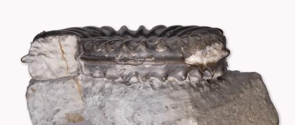 Arnioceras sp., 5 cm diameter, view of keel & whorl section