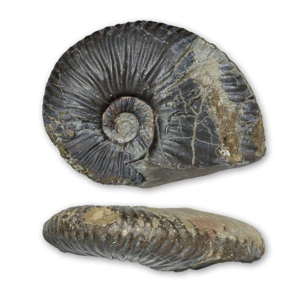 "Angulaticeras cf. charmassei, 9cm / 3.5 "" diameter, bucklandi sz, Redcar"