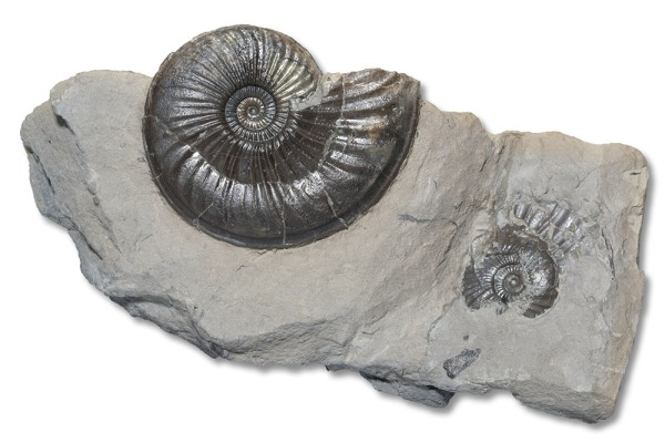 Specimen of Eparietites denotatus, 4 cm, see next picture for what´s on the other side...