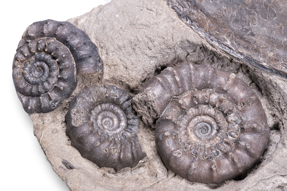 Detail of the better preserved ammonites - biggest Bifericeras bifer diameter = 3.5 cm