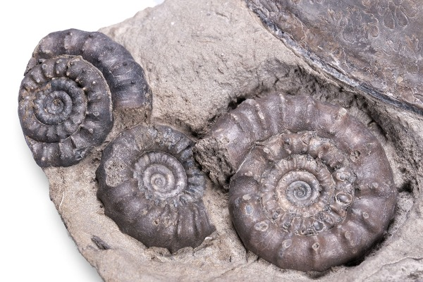 Detail of the better preserved ammonites - biggest Bifericeras bifer diameter = 3.5 cm