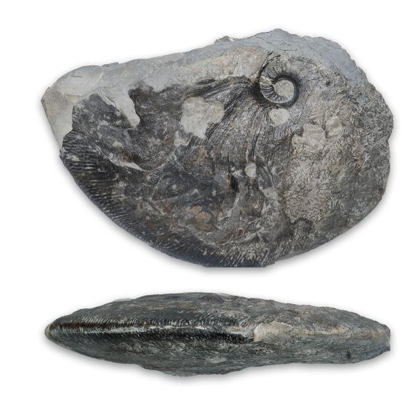 Fragment of big Angulaticeras sulcatum, 10 cm wide