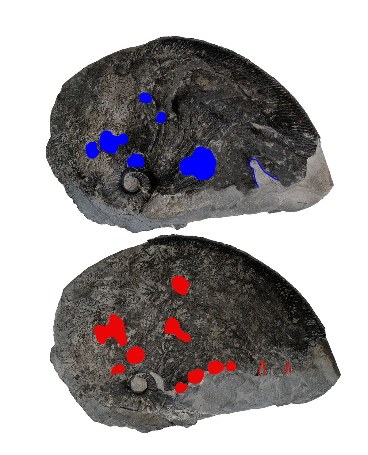 Both sides of ammonite shown with bite marks shown in red and blue, also possible sratch marks and tear-outs