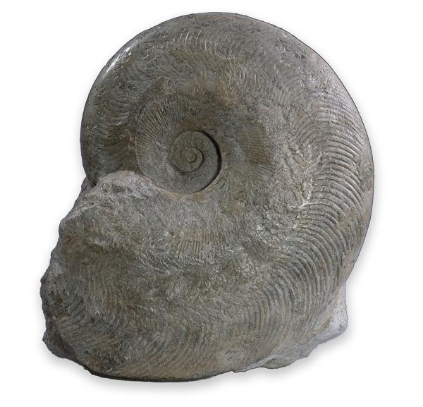 Harpoceras subplanatum , Deux Sevres / France, 16 cm diameter